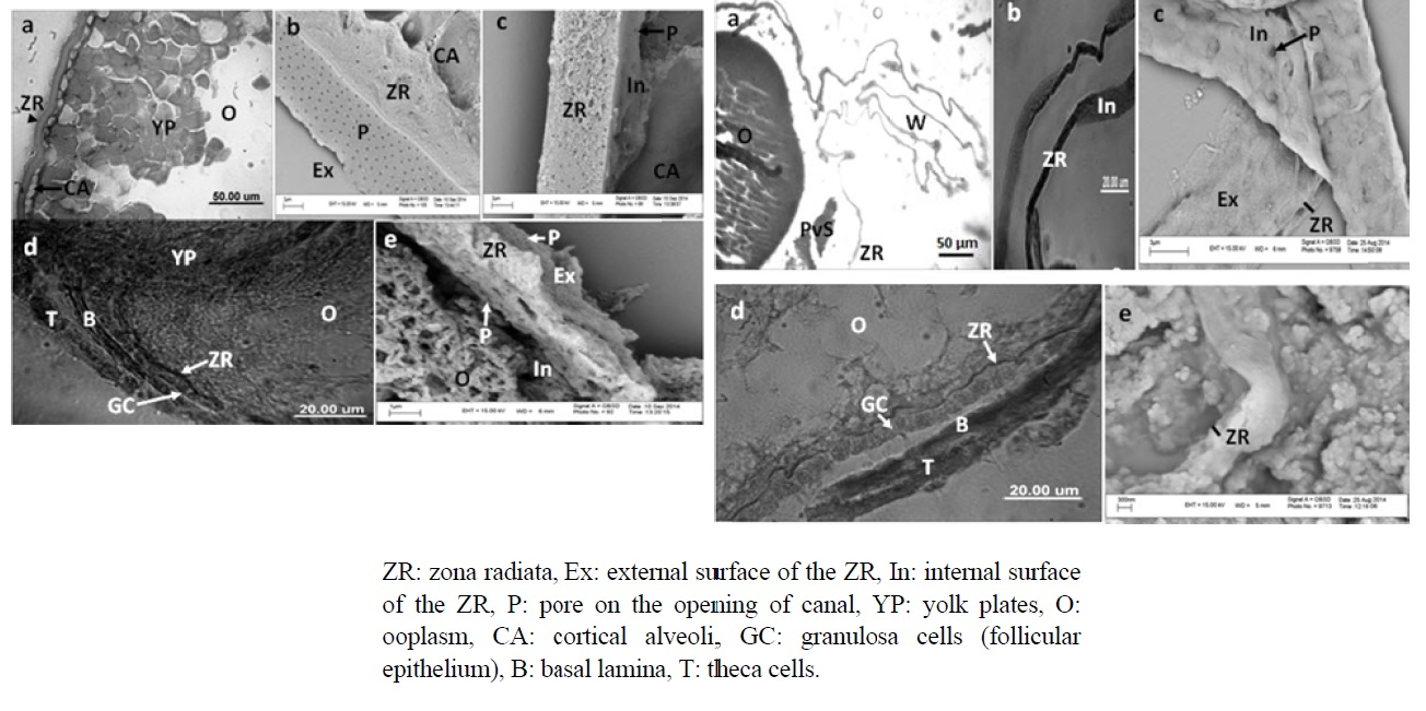 Structure of Zona Radiata of the Viviparous Molly and the Oviparous Bighead Carp