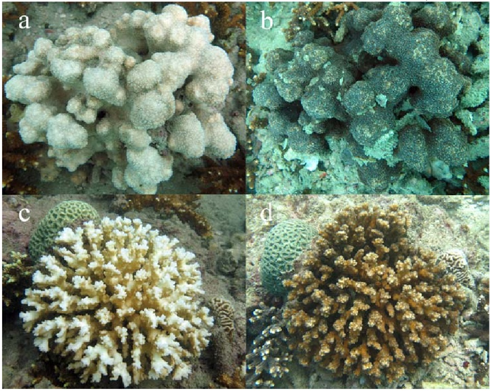 Specific Thermal Regime and Coral Bleaching Pattern in Hengam Island